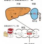 「フェニル硫酸」が糖尿病性腎臓病の原因物質 腸内細菌がもつ酵素が関与